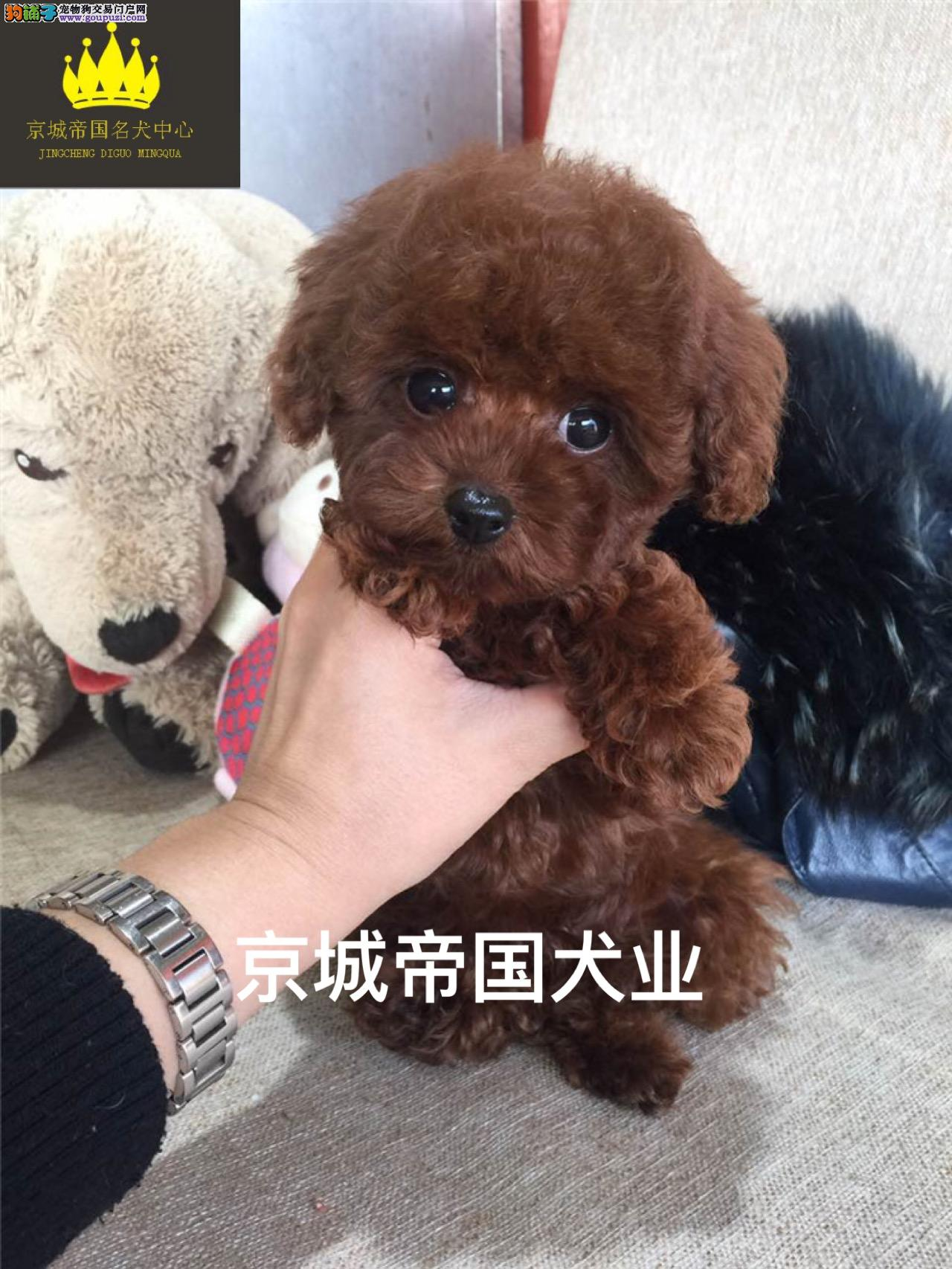 精品泰迪犬 多种颜色选择 保证品质 保证健康