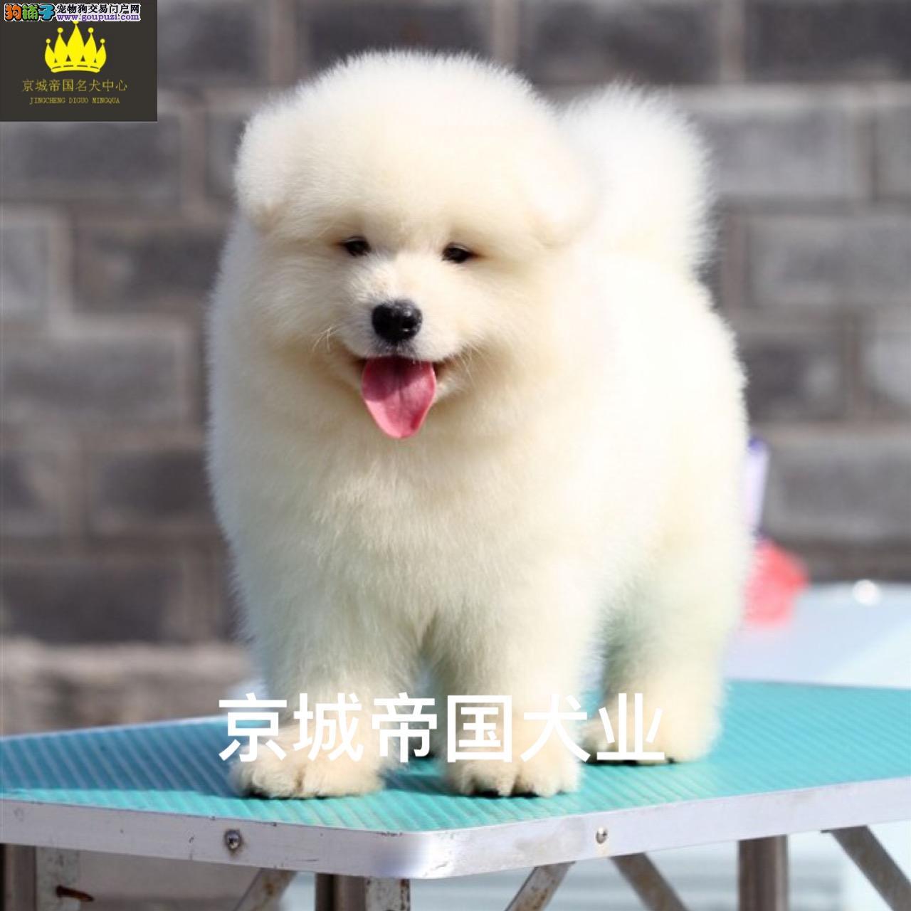 魔法血系的极品笑脸萨摩幼犬宝宝待售中....