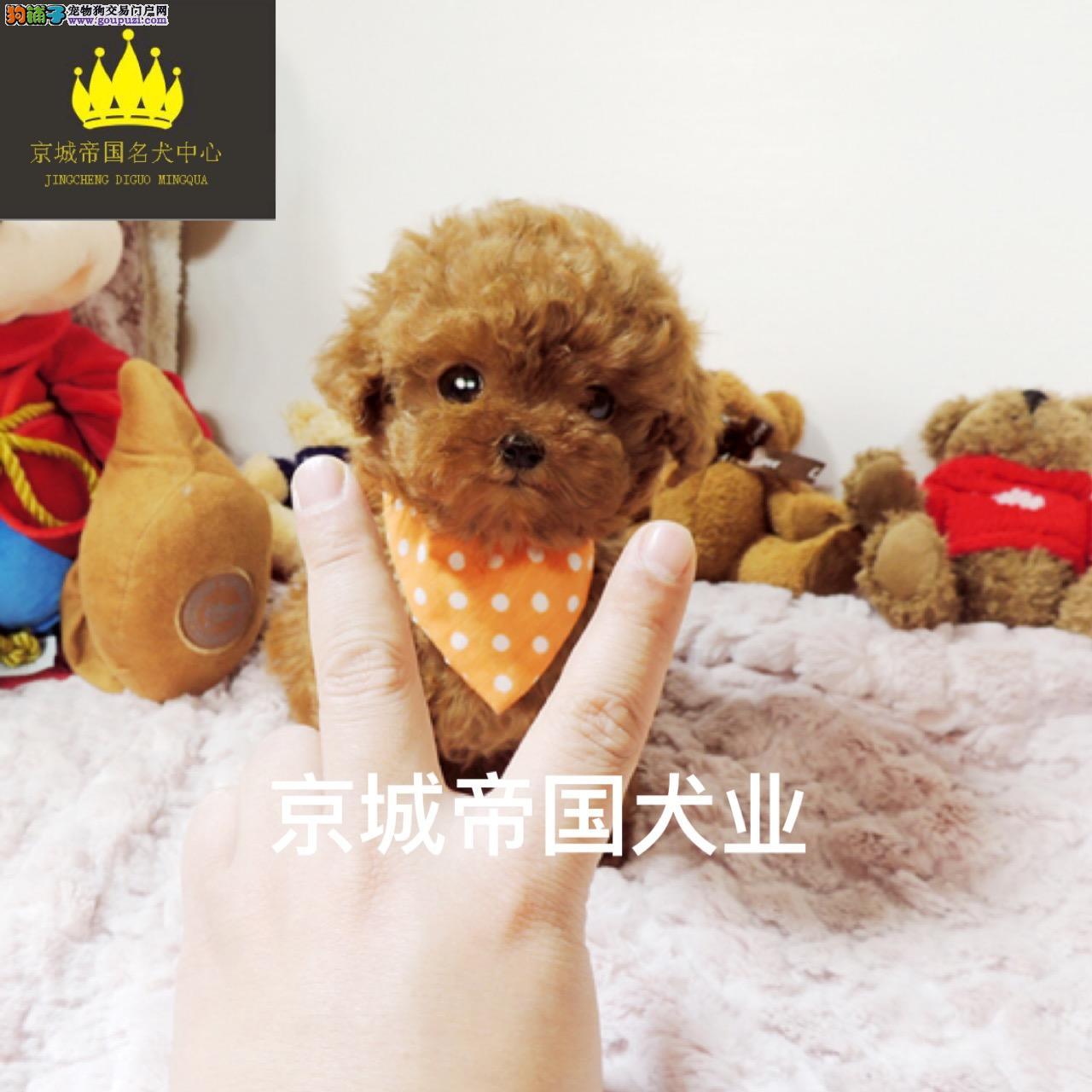 出售精品泰迪犬/拒绝病狗/可上门/签协议/您值得信赖
