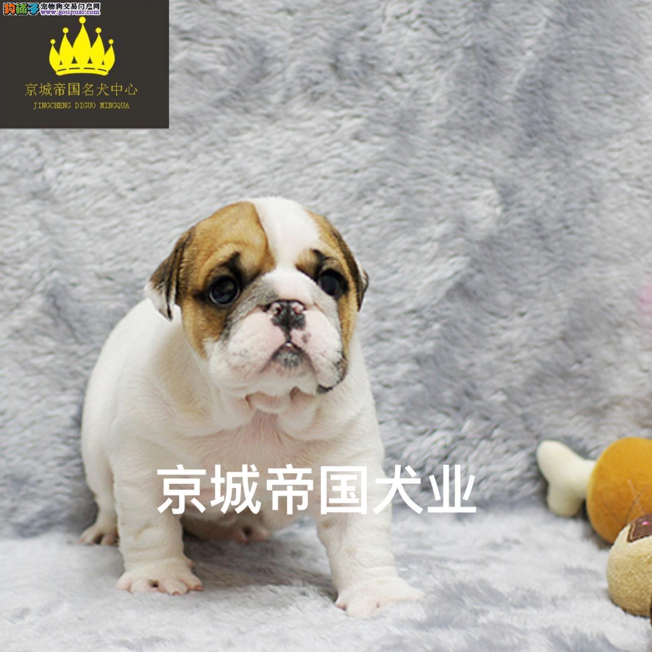 英国斗牛犬出售、保证纯种和健康 CKU国际认证