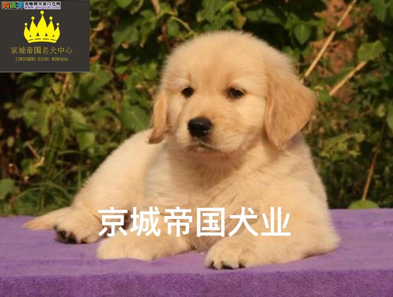 品质第一信誉第一精品金毛幼犬健康质保十佳犬舍