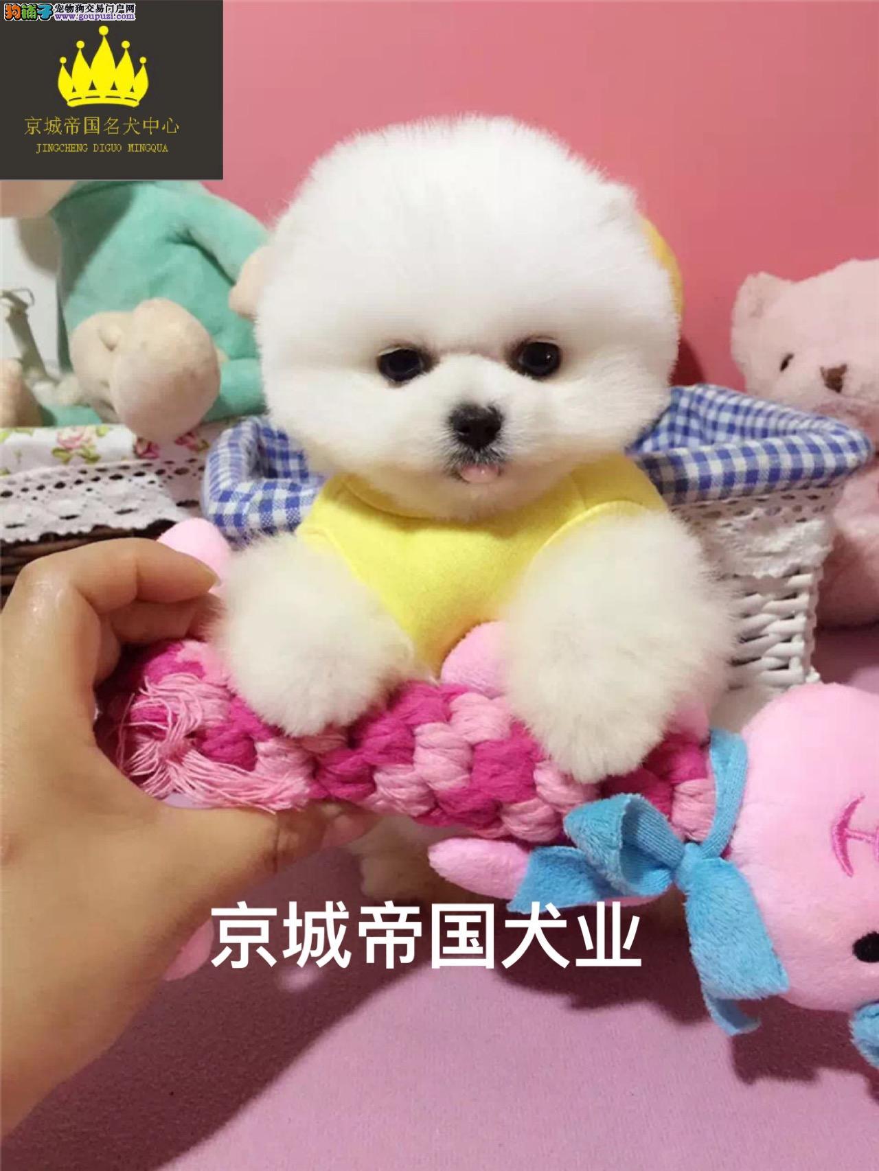 顶级纯种哈多利博美幼犬、娇小体型、品质一流