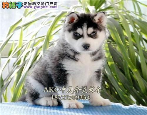 本犬舍 诚信出售高品质哈士奇犬 可以送货签协议