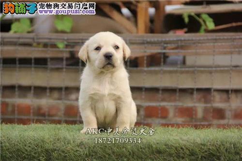 青岛低价出售骨量足导盲犬拉布拉多犬