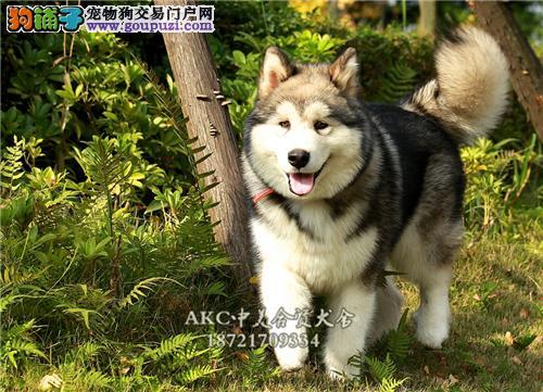 山东阿拉斯加聪明小幼犬包纯种全国发货