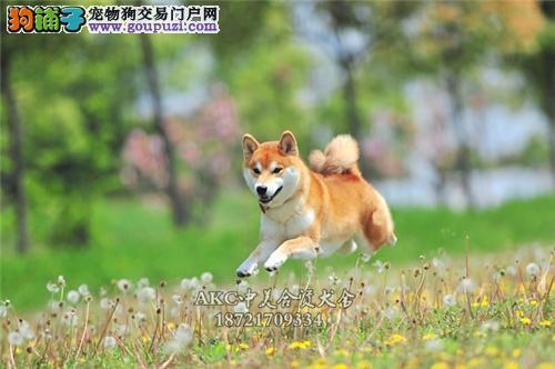 犬舍诚信出售 高品质纯种健康 秋田犬 可送货签协议