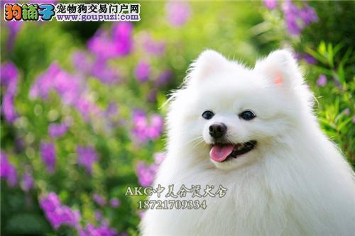 犬舍诚信出售 高品质纯种健康 哈多利球形博美 可送货