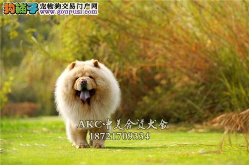 犬舍诚信出售 高品质纯种健康 松狮犬 可送货签协议
