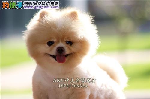 犬舍促销博美八折出售 赛级宠物级均有先到先得
