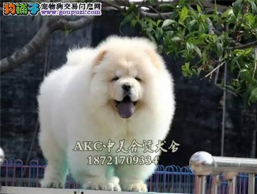 苏州哪里有乖巧可爱紫舌松狮犬全国包运