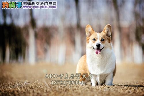 江苏家养柯基帅气顶级犬双血统全国发货