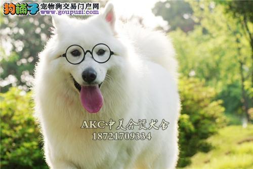 江苏正规犬舍萨摩耶阳光全国发货