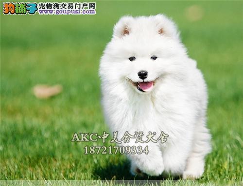 江苏犬舍萨摩耶乖巧幼犬待售全国发货