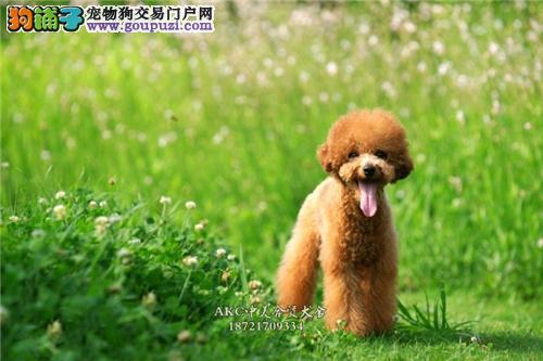 合肥纯种健康韩系泰迪驱虫已做幼犬待售