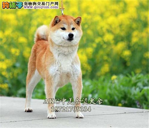 黑龙柴犬帅气微笑保健康全国发货