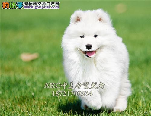 黑龙萨摩耶出售微笑狗狗送用品全国发货