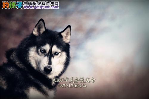 吉林专业繁殖阿拉斯加顶级小犬全国发货