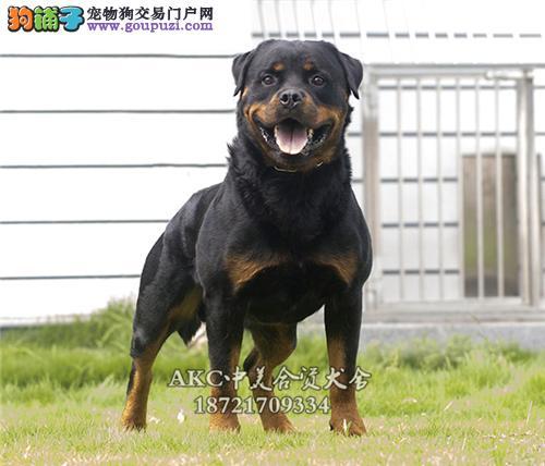 黑龙最大犬舍罗威纳顶级公母均有全国发货