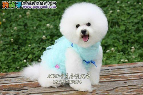 哈尔滨纯种好养雪白比熊狗狗幼犬待售