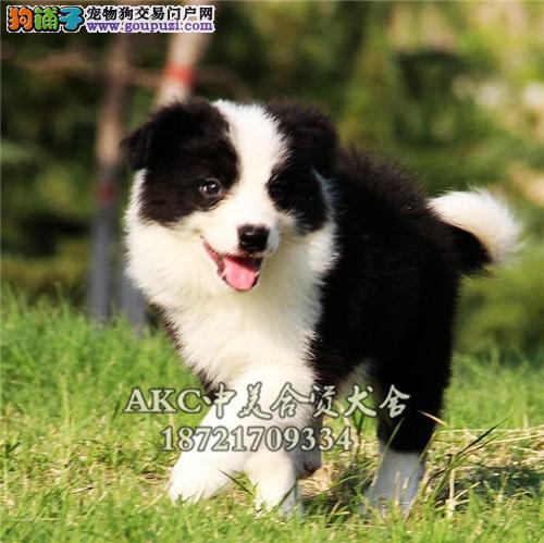 吉林边牧高品相幼犬全国包运全国发货