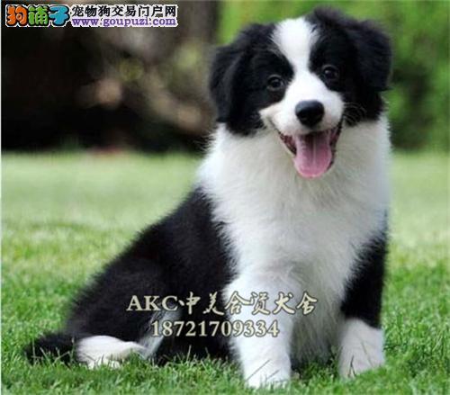 陕西边牧好养帅气犬保健康全国发货