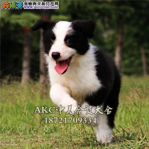 陕西犬舍边牧宽鼻线幼犬待售全国发货
