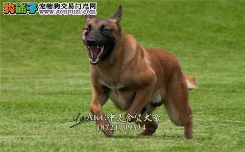 陕西马犬骨量足小幼犬公母均有全国发货