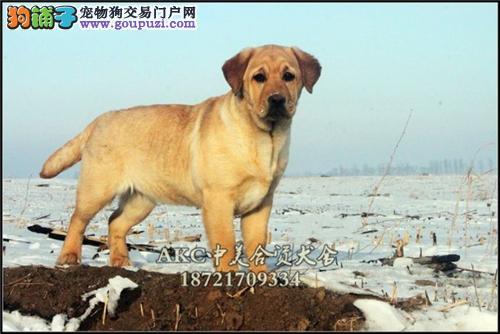 犬舍促销 拉布拉多八折出售 赛级宠物级均有先到先得