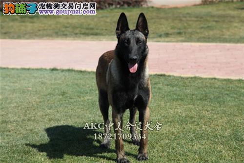 长沙最大犬舍新生帅气马犬带证书送用品