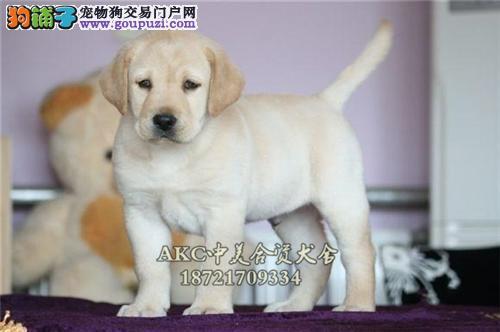 重庆健康帅气神犬小七拉布拉多幼犬待售