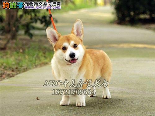 湖南家养柯基可爱犬公母均有全国发货