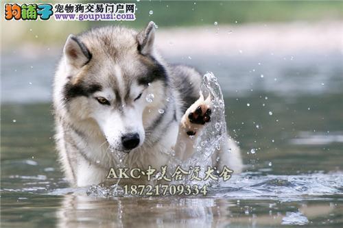 重庆犬舍哈士奇极品二哈公母均有全国发货