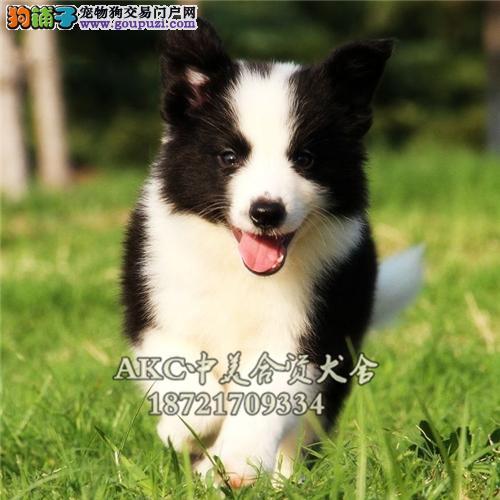 重庆最大犬舍边牧小幼犬双血统全国发货