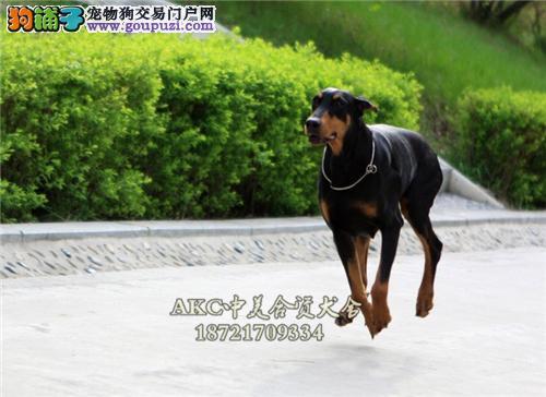 天津正规犬舍杜宾聪明赛级警卫犬全国发货