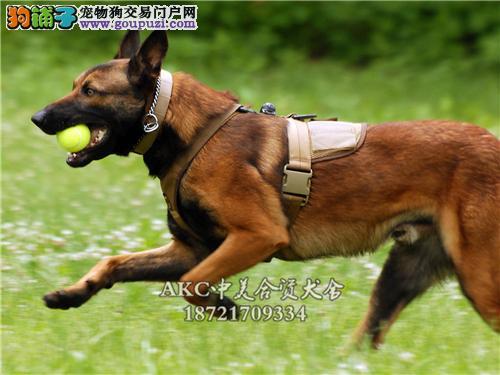 犬舍促销 拉不拉多八折出售 赛级宠物级均有先到先得