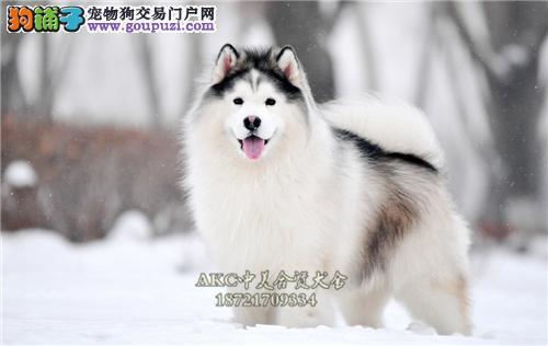 天津阿拉斯加聪明小幼犬包纯种全国发货