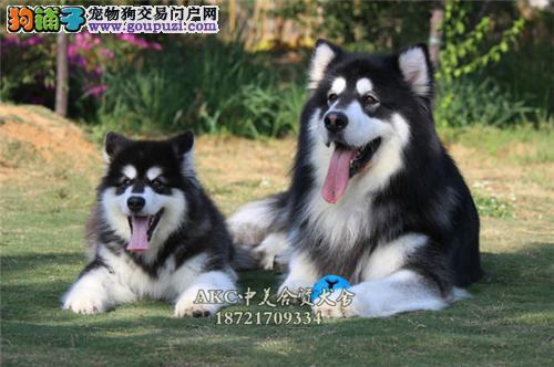 天津健康聪明小阿拉斯加犬保健康包纯种