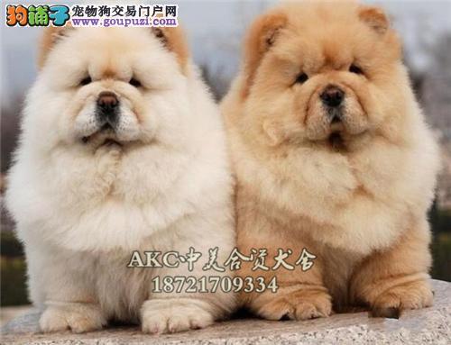 天津出售松狮高品相胖胖全国发货