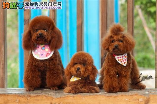 山西本地出售泰迪萌萌熊包纯种全国发货