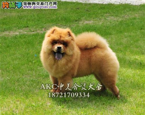 贵州专业繁殖松狮帅气肉嘴奶狗全国发货