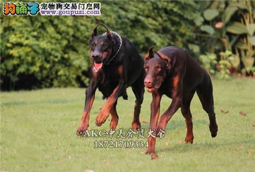 犬舍促销 德牧八折出售 赛级宠物级均有先到先得