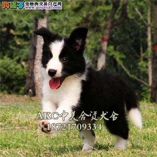 江西边牧健康赛级陨石色狗狗全国发货