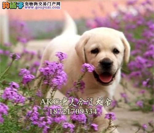 贵阳家养听话短毛拉布拉多幼犬待售