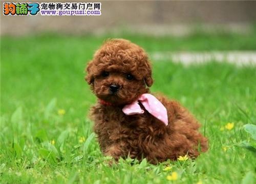 江西出售泰迪顶级超萌狗狗带证书全国发货