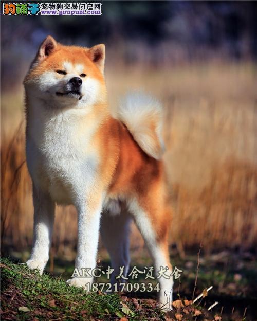 贵州家养秋田顶级小犬包纯种全国发货