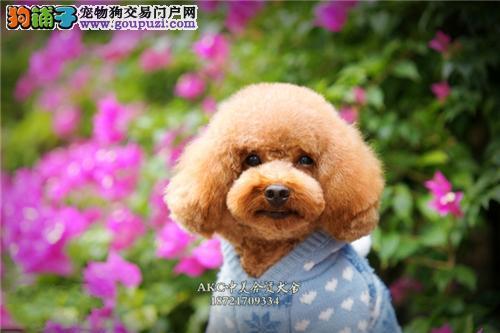 上海犬舍泰迪帅气健康小体幼犬全国发货