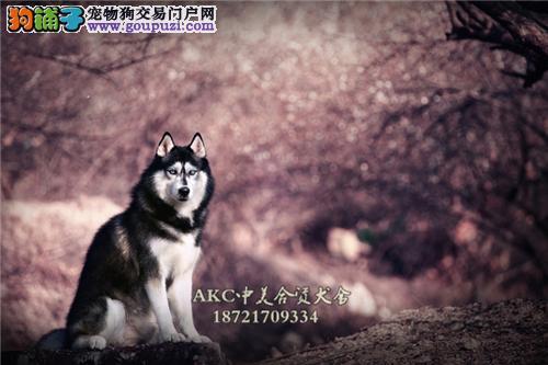 上海犬舍阿拉斯加顶级出售粘人全国发货