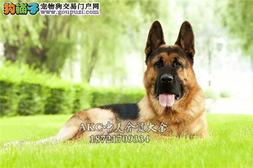 上海德牧帅气德国牧羊犬下单有礼全国发货