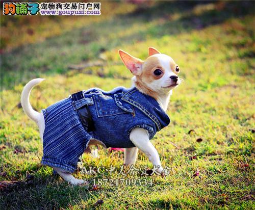 上海吉娃娃低价出售小保健康全国发货