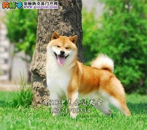 上海柴犬赛级骨量足微笑驱虫已做全国发货
